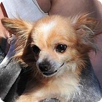 Pomeranian Dog for adoption in Vernonia, Oregon - Duke