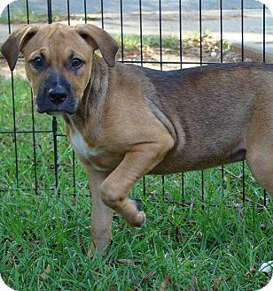 Labrador Retriever Mix Puppy for adoption in Allentown, New Jersey - Tallulah