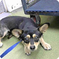 Chihuahua Mix Dog for adoption in San Bernardino, California - URGENT on 10/14 @DEVORE