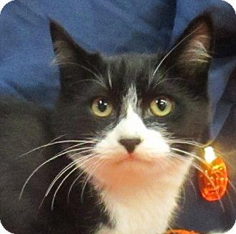 Domestic Shorthair Cat for adoption in Lloydminster, Alberta - Espresso