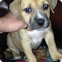 American Bulldog/Labrador Retriever Mix Puppy for adoption in Hartford, Connecticut - Annie