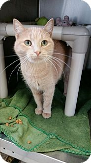 Domestic Shorthair Kitten for adoption in Chippewa Falls, Wisconsin - Maddie