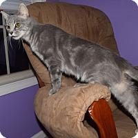 Domestic Shorthair Cat for adoption in Lexington, Kentucky - Cinder
