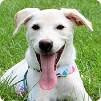Labrador Retriever Mix Dog for adoption in San Francisco, California - Laila
