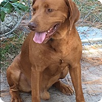 Redbone Coonhound/Labrador Retriever Mix Dog for adoption in Irmo, South Carolina - Rusty