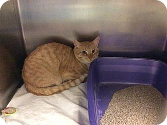 Domestic Shorthair Cat for adoption in Janesville, Wisconsin - Abner