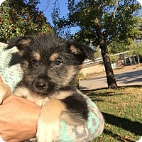Shepherd (Unknown Type) Mix Puppy for adoption in oklahoma city, Oklahoma - Biscuit