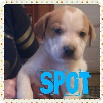 Australian Cattle Dog/Pit Bull Terrier Mix Puppy for adoption in Wichita Falls, Texas - Spot