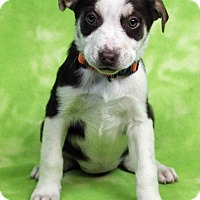 Adopt A Pet :: JENNI - Westminster, CO