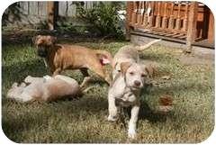 Labrador Retriever Mix Dog for adoption in Houston, Texas - LEIZA