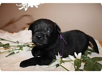 Labrador Retriever/Belgian Malinois Mix Puppy for adoption in Sinking Spring, Pennsylvania - Vienna