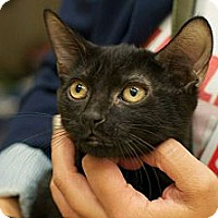 Domestic Shorthair Cat for adoption in New York, New York - Gabby