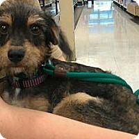 Adopt A Pet :: Fitzgerald - Phoenix, AZ