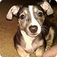 Adopt A Pet :: Dottie - Hilliard, OH