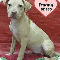 American Staffordshire Terrier Mix Dog for adoption in San Antonio, Texas - A311650 Franny