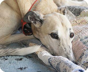 Greyhound Dog for adoption in Lexington, South Carolina - Timmy