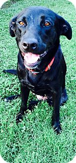 Labrador Retriever Mix Dog for adoption in Destrehan, Louisiana - Lick