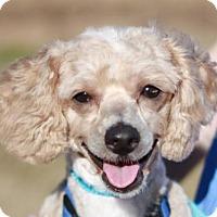 Adopt A Pet :: Sparky - ADOPTION IN PROGRESS - Brattleboro, VT