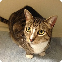 Domestic Shorthair Cat for adoption in Putnam Hall, Florida - Fergie
