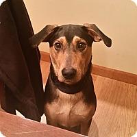 Adopt A Pet :: Cole~meet me! - Glastonbury, CT