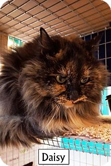 Persian Cat for adoption in Lakewood, Colorado - Daisy