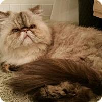Adopt A Pet :: Abbey - Fort Lauderdale, FL