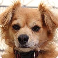 Spaniel (Unknown Type)/Chihuahua Mix Dog for adoption in Healdsburg, California - Meg