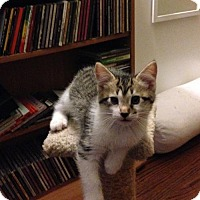 Domestic Shorthair Kitten for adoption in Fishers, Indiana - Marko