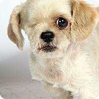 Adopt A Pet :: Gloria Shih Tzu - St. Louis, MO