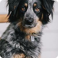 Adopt A Pet :: Harper - Portland, OR