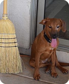 Spaniel (Unknown Type)/Dachshund Mix Dog for adoption in Higley, Arizona - VICKYSUE