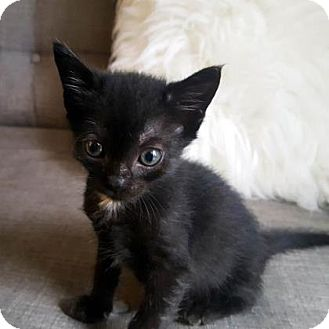 Domestic Shorthair Kitten for adoption in Austin, Texas - Sage