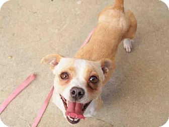 Chihuahua/Dachshund Mix Dog for adoption in Petaluma, California - RONNIE - ID#A342568