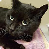 Adopt A Pet :: Wigeon - Salisbury, MA