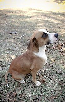 Boxer Mix Dog for adoption in Vidor, Texas - Punkin