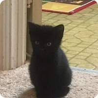 Adopt A Pet :: MM16 - Pidgey ADOPTION PENDING - Northville, MI
