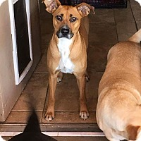 Boxer/Basenji Mix Dog for adoption in El Paso, Texas - Lady
