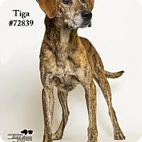 Adopt A Pet :: Tiga - Baton Rouge, LA