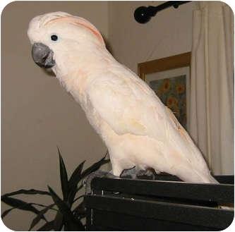 Cockatoo for adoption in Mantua, Ohio - BAM BAM