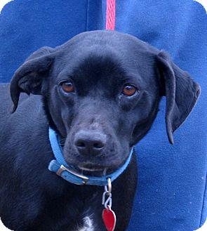 Wylie Adopted Dog Marseilles Il Labrador Retriever