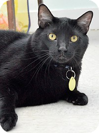 Domestic Shorthair Cat for adoption in Bradenton, Florida - Max