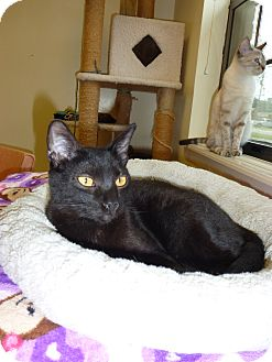Domestic Shorthair Cat for adoption in Lake Charles, Louisiana - Carlton