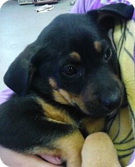 German Shepherd Dog/Hound (Unknown Type) Mix Puppy for adoption in River Falls, Wisconsin - Buzzie