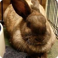 Adopt A Pet :: Chestnut - El Cerrito, CA