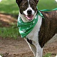 Adopt A Pet :: Brindi - Flowery Branch, GA