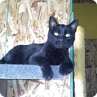 Adopt A Pet :: Domino *Reduced adoption fee FIV positive kitty* - Kyle, SD