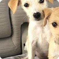 Adopt A Pet :: Bleu - Gainesville, FL