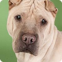 Adopt A Pet :: Sasha - Chicago, IL