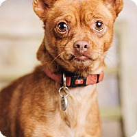 Adopt A Pet :: Red - Portland, OR