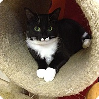 Domestic Shorthair Cat for adoption in Blasdell, New York - Miss Paw